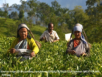 coffee-and-tea-plantation-worker